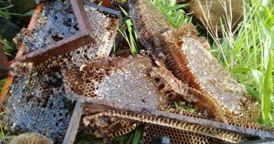 Apicultores encontram meio bilhão de abelhas mortas em três meses