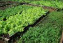 Agricultura cria cartilha comdicas para horta em pequenos espaços<BR><BR>