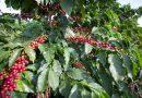 Pesquisa aponta cenário da safra cafeeira em 2019<BR><BR>