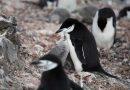 Os pinguins não estão felizes com o novo clima da Antártida<BR><BR>
